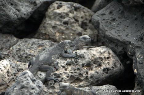 Galapagos, morska Iguana