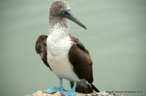 Galapagos, Gluptaki