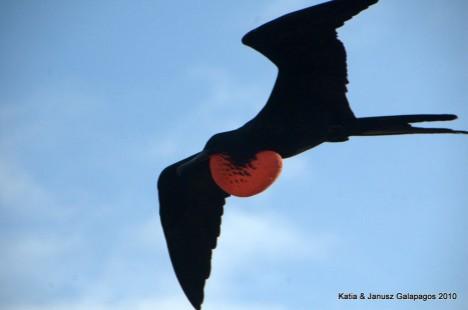 Galapagos, Fregaty