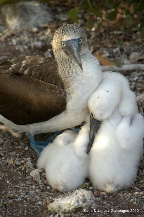 Galapagos, Gluptak