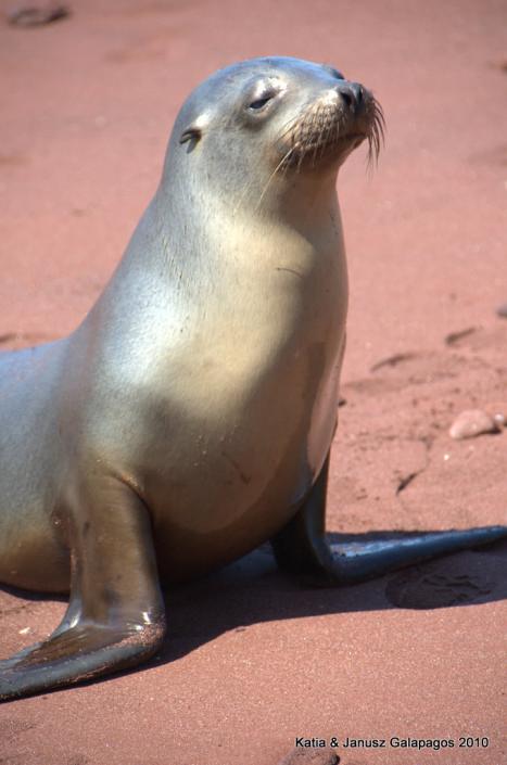 Galapagos, Rabida, lwy morskie