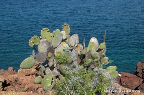 Galapagos, kaktus Opuncji