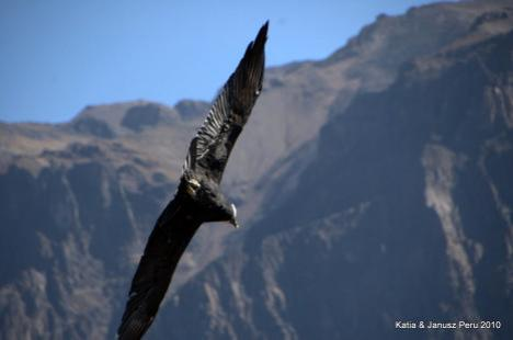 Peru Kanion Colca i Kondory