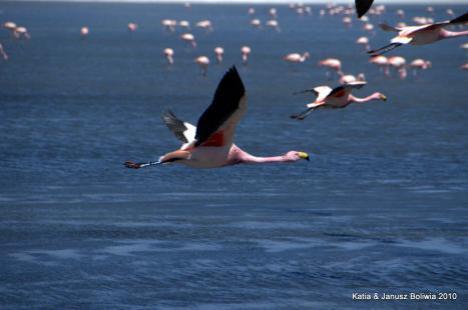 Boliwia Altiplano flamingi