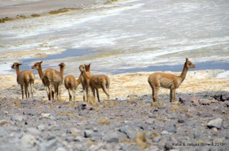 Boliwia vikunie