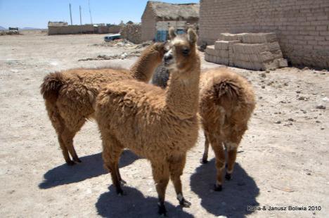 Boliwia lamy